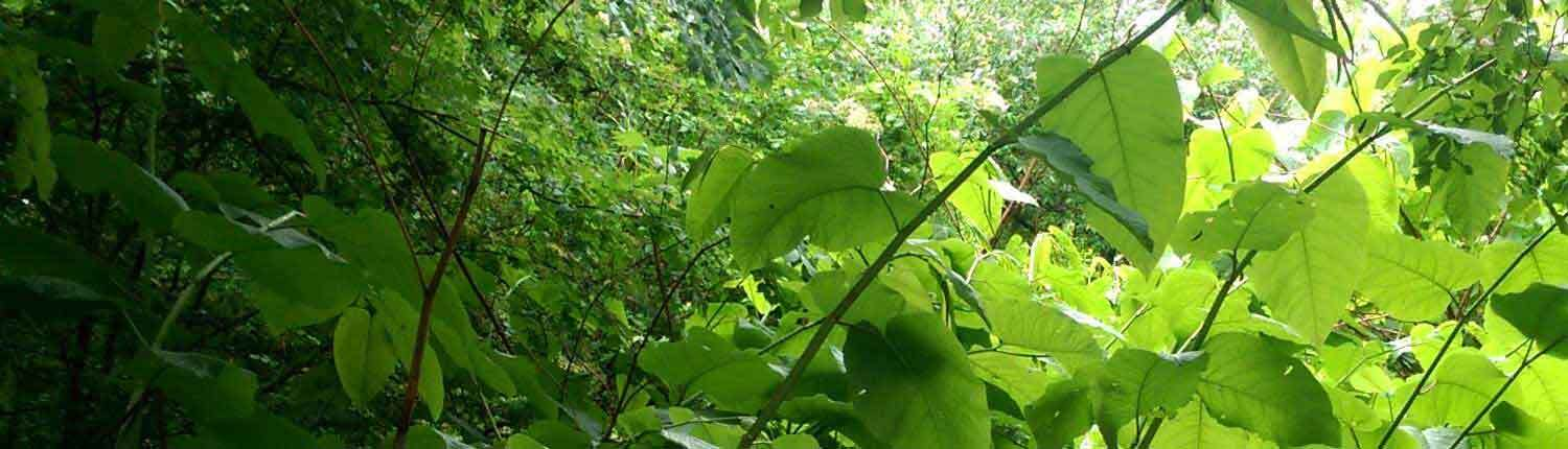 Envasive plant japanese knotweed